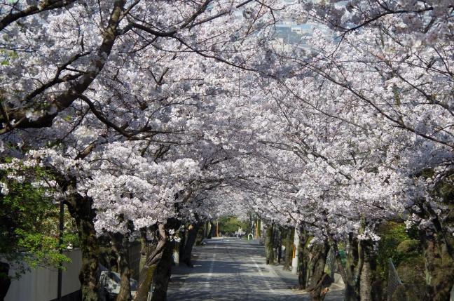 IMGP4766桜坂