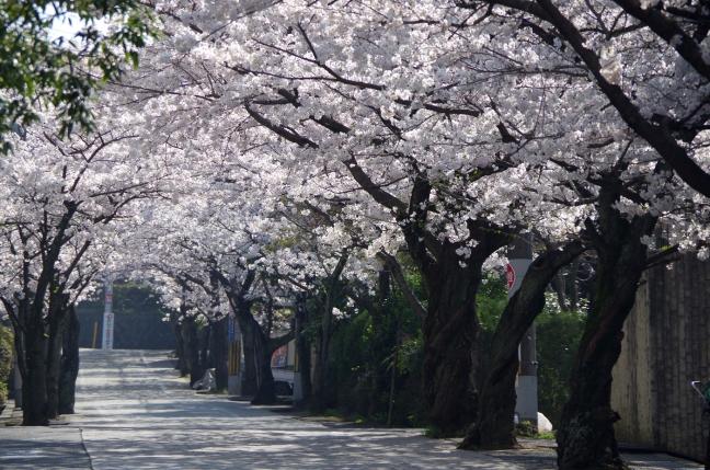IMGP4769桜坂